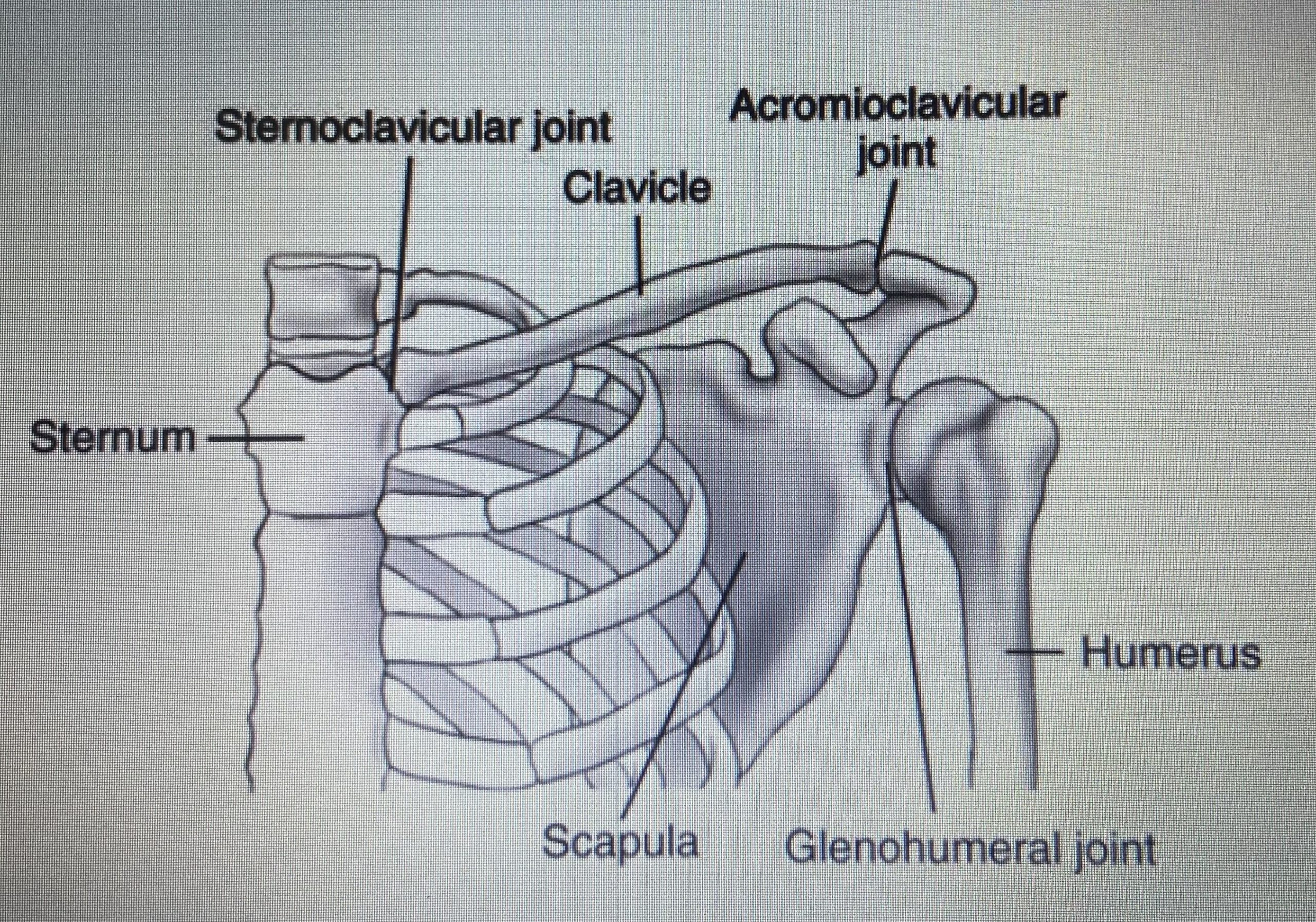 Shoulder Gridle Bones/Joints